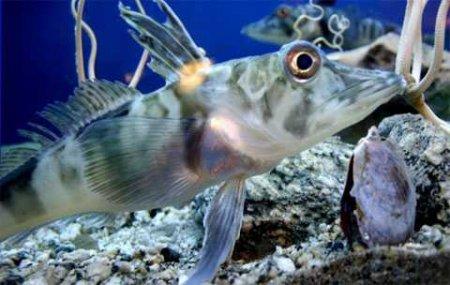 Уникальная рыба с прозрачной кровью (3 фото + 1 видео)