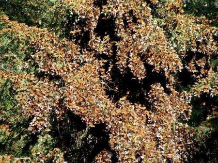 Бабочка данаида монарх – одна из самых известных в Америке (19 фото)
