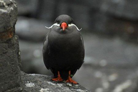 Крачки-инки – симпатичные птички с усами (11 фото)