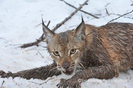 Добрые люди освободили рысь, попавшую в браконьерскую петлю
