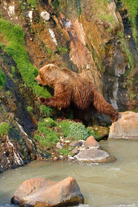 Медведи гризли – хищники Северной Америки (22 фото)