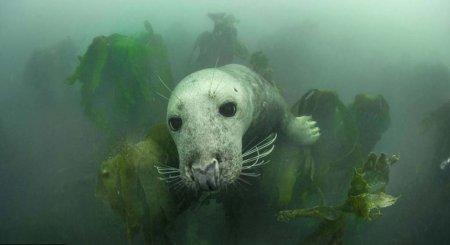 Тюлени островов Фарн в объективе Адама Хэнлона (14 фото)