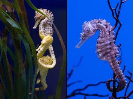 Удивительные фотографии морских коньков и морских драконов (32 шт)