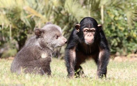 Необычная дружба детёныша гризли и шимпанзе (4 фото)