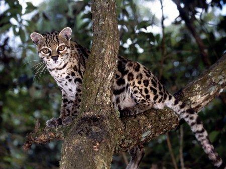 Длиннохвостая кошка – хозяйка тропических лесов Центральной и Южной Америки (12 фото)