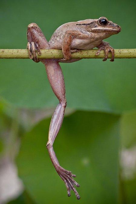 Лягушки через объектив фотографа Лесси Себастьяна (11 фото)