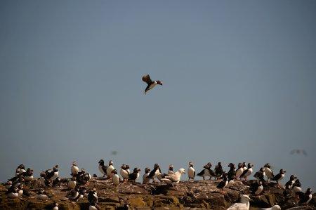 На островах Фарн ведётся традиционный подсчёт тупиков (15 фото)