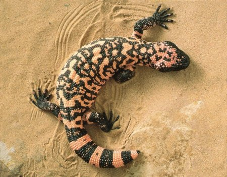 Самые опасные на планете черепахи и ящерицы
