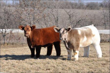 Самые мимишные коровы на планете (9 фото + 1 видео)