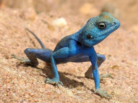 Ящерицы с самым ярким окрасом (9 фото)