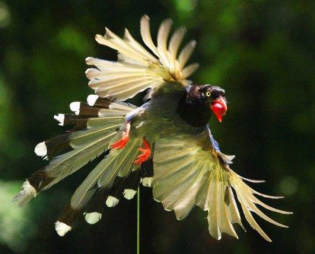 Красочная тайваньская сорока (16 фото)