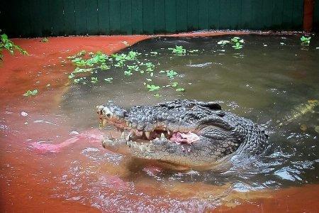 Крупнейший в мире крокодил отпраздновал 110-летний юбилей (8 фото)