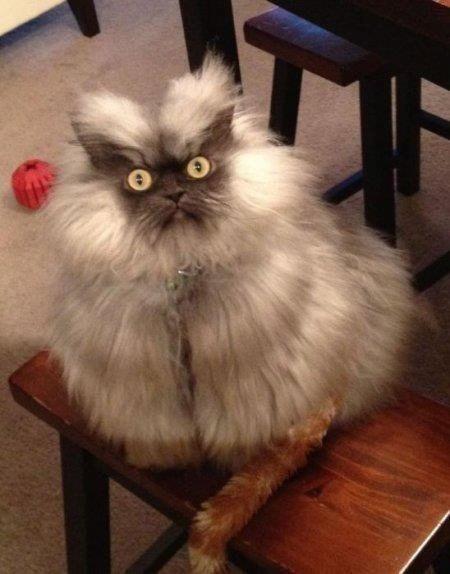 Сердитый котик Полковник Мяу (6 фото)