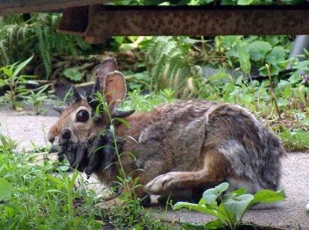 Кролик, поражённый редким заболеванием (4 фото + 1 видео)