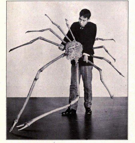 Японский краб-паук – одно из самых крупных членистоногих на планете (15 фото)