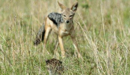 Самка леопарда спасает своего детёныша от шакалов (10 фото)