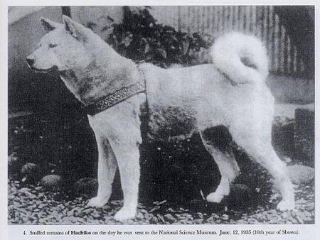 Картинки собаки хатико