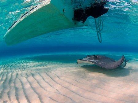 Скаты – подводные бабочки с электрическим разрядом (21 фото)