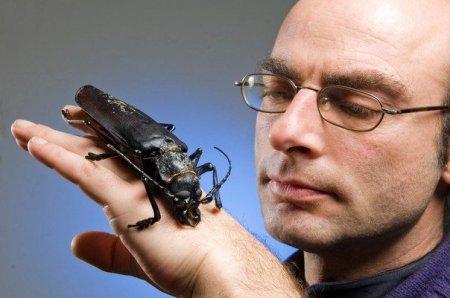 Жуки размером с вашу ладонь: дровосек-титан