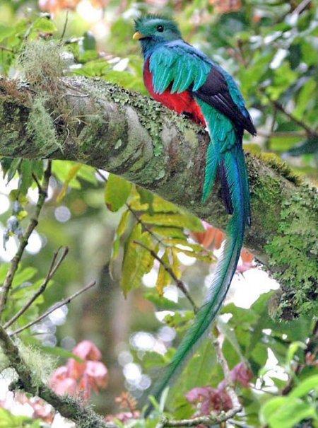 Квезаль – священная птица индейцев майя (19 фото)