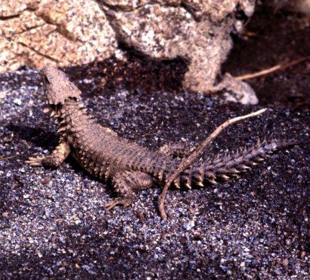 Поясохвост, или ящерица-броненосец (16 фото)