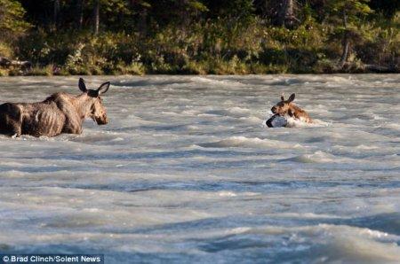 Лосиха-мать спасает своего детёныша из реки (7 фото)