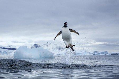 Папуанские пингвины – уникальные морские птицы на нашей планете (19 фото)