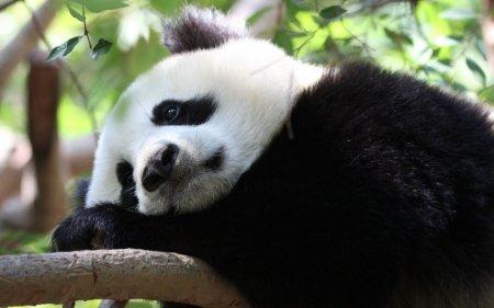 Большие панды – самые умильные животные (15 фото)
