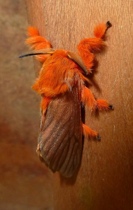 Гусеница, похожая на мармелад (18 фото)