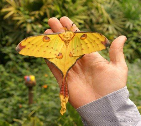 Ночная бабочка Мадагаскара (11 фото)
