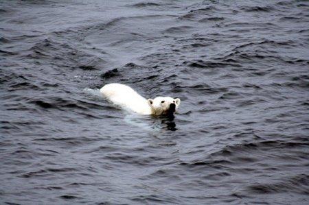 11 Интересных фактов о белых медведях