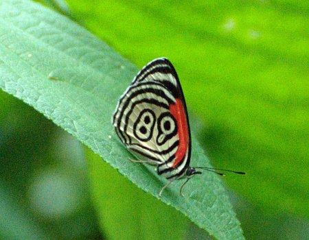 Уникальная бабочка из рода Диетрия (12 фото)