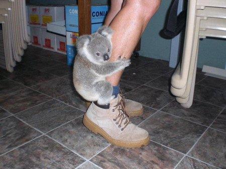 """Коалы: австралийские """"ленивые медвежата"""" (16 фото)"""