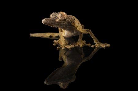 Мадагаскарские плоскохвостые гекконы (12 фото)