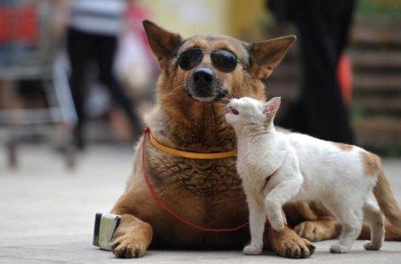 Неразлучная парочка: немецкая овчарка Вангкай и кошка по кличке Мими (4 фото)