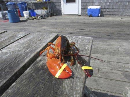 Уникальный двухцветный омар пойман в США (3 фото)
