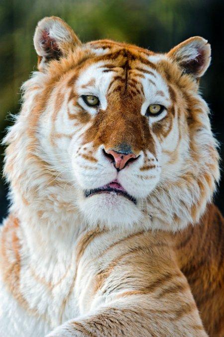 Тигры с золотистым окрасом (6 фото)