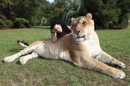 Лигр Геркулес – самая большая в мире кошка (10 фото)