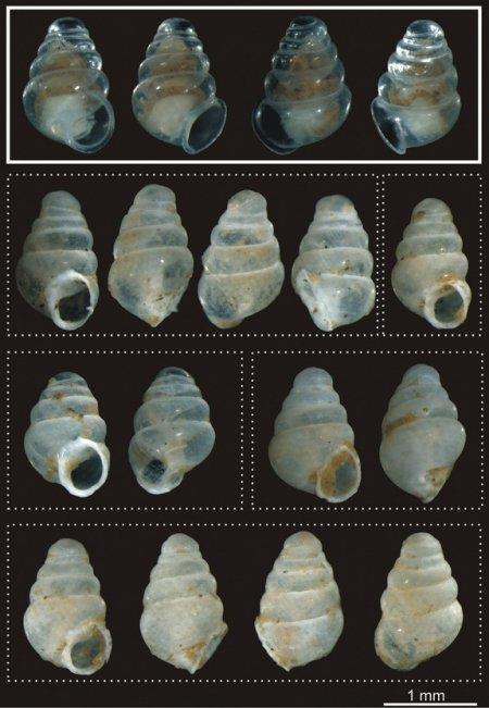 Новый вид полупрозрачных улиток обнаружен в Хорватии (3 фото)