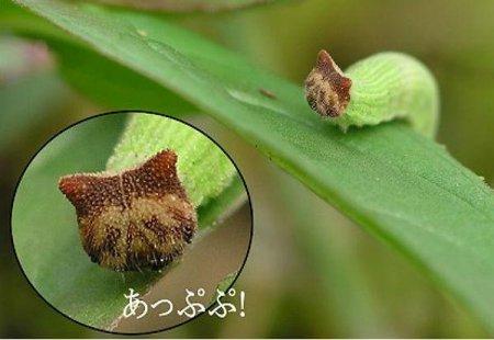 Забавная гусеница, похожая на Hello Kitty (4 фото)