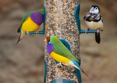 Гульдовы амадины – яркие обитательницы Австралии (8 фото)