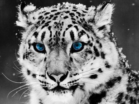 Снежные леопарды центральной Азии (10 фото)