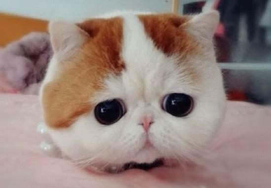 Ли Хуа (Дракон Ли описание породы китайской кошки, уход, фото, цена