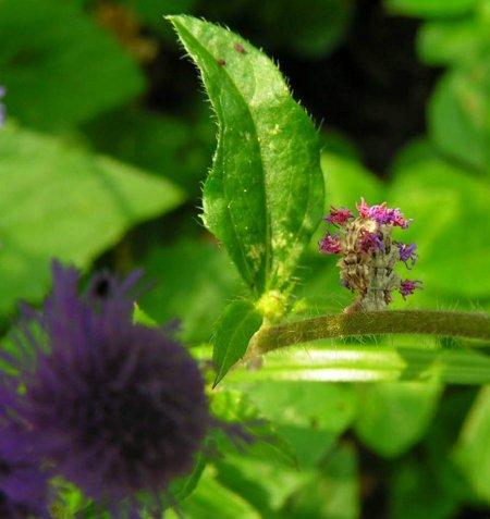 Цветочная мимикрия гусеницы пяденицы (8 фото)