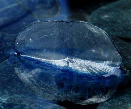 Velella velella – единственный представитель своего вида (7 фото)
