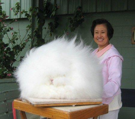 Пушистые ангорские кролики (8 фото)