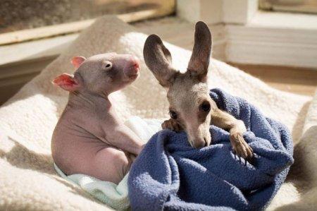 Очаровательная дружба кенгурёнка и детёныша вомбата (10 фото)