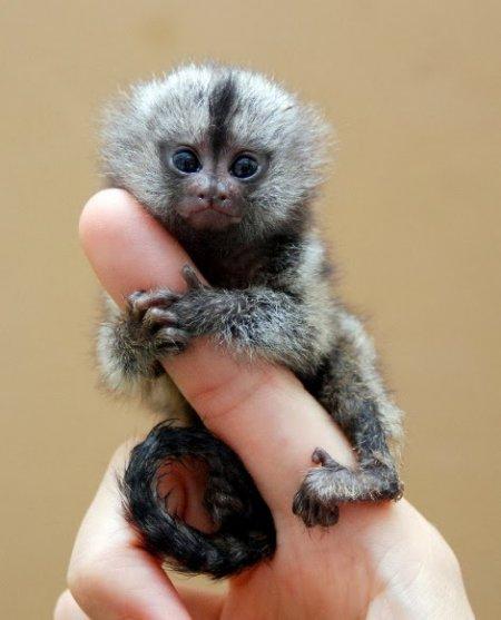 Карликовая игрунка – самая маленькая обезьянка в мире