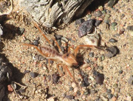 Фаланги – хищные паукообразные (19 фото)