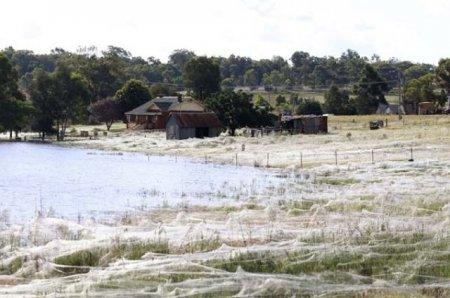 Невероятное нашествие пауков в Австралии (12 фото)